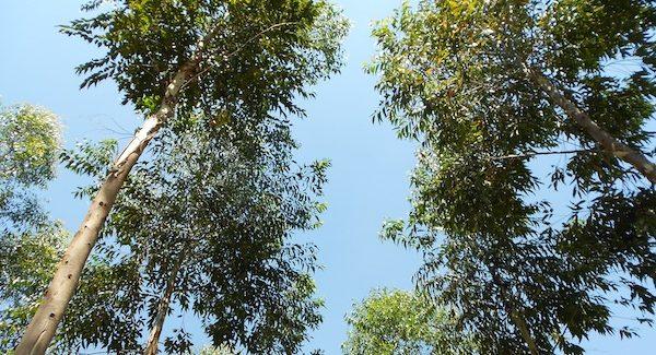 Eukalyptus Himmel